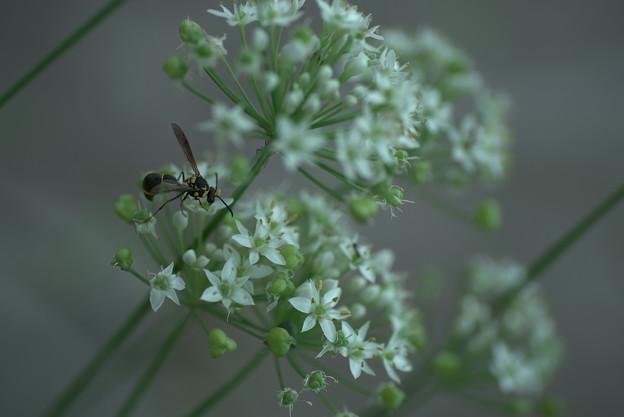 にらの花に  スズメバチ? アシナガバチ?