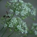 Photos: にらの花に  スズメバチ? アシナガバチ?
