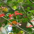 Photos: 紅葉 コマユミの葉?