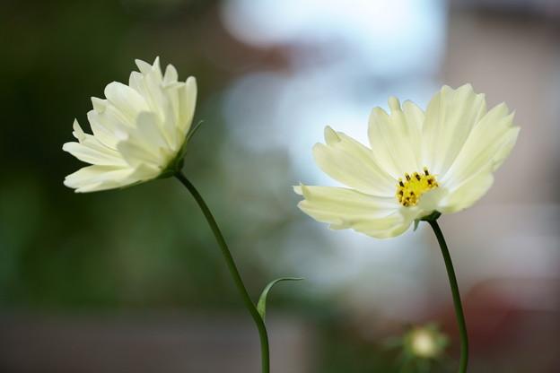 黄色いコスモス(1)
