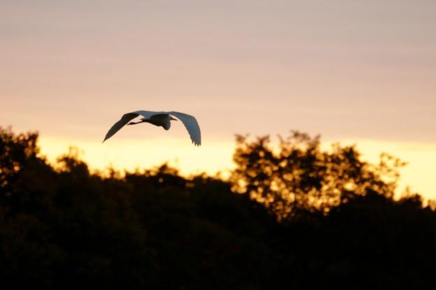 シラサギの飛翔