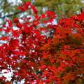 写真: モミジの紅葉