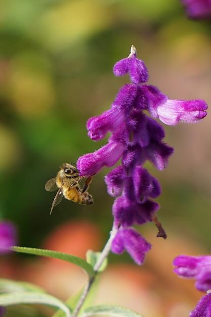 Photos: ミツバチとメドーセージ