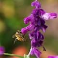 ミツバチとメドーセージ