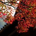 写真: 山中温泉 屋根にかかるモミジ