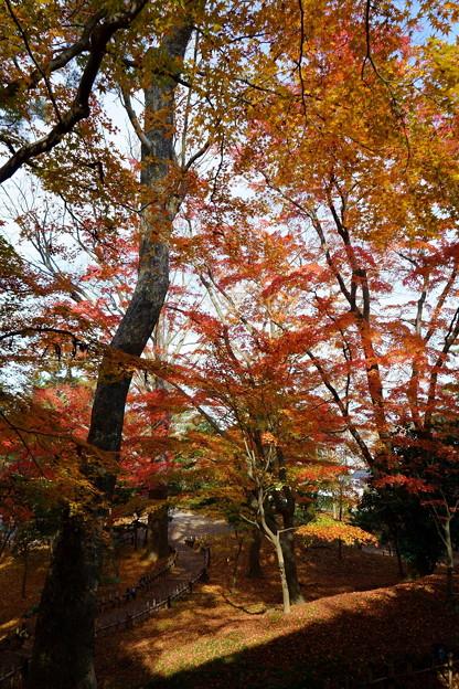 兼六園 山崎山からモミジの紅葉