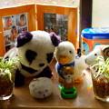 Photos: 窓辺  オリヅルランの子株をハイドロカルチャーに