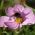 Photos: コスモスと蜂