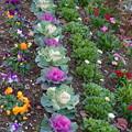 葉ボタンと春の花