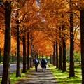Photos: メタセコイアの並木道