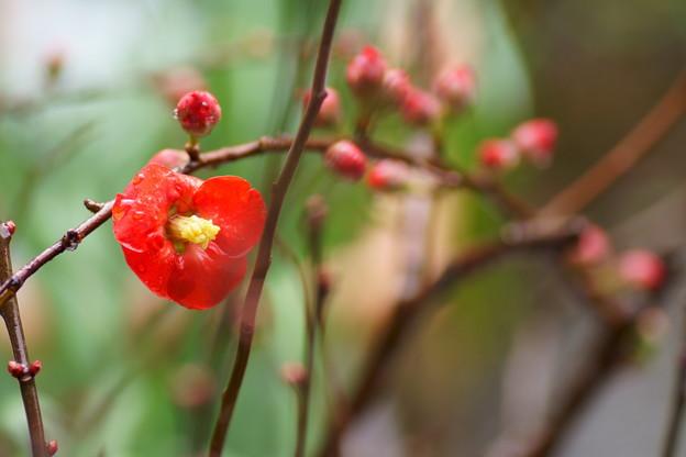 木瓜が開花