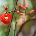 写真: 木瓜が開花