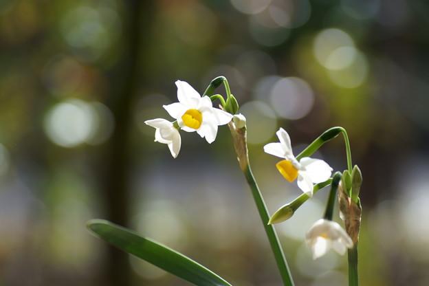 日本水仙が開花(1)