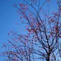 Photos: 貴重な青空と真っ赤な実