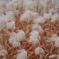 冬のススキ