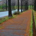 冬のオレンジのカーペット  メタセコイア(2)