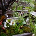 松竹梅の寄せ植え 出番待ち