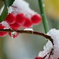 Photos: しずくと雪帽子
