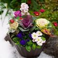 写真: 寄せ植え     半分雪&苔