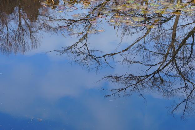 冬のスイレン池