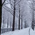 メタセコイアの並木道 (´∀`*)。o○雪キター!!゚・※*。゚