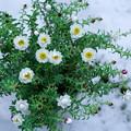 Photos: 花かんざし     雪の中で