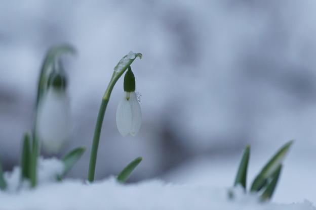 Photos: スノードロップ  雪(1)