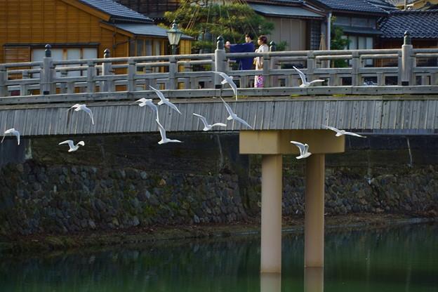 浅野川にユリカモメ  中の橋