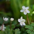 写真: バイカオウレンが開花(2)