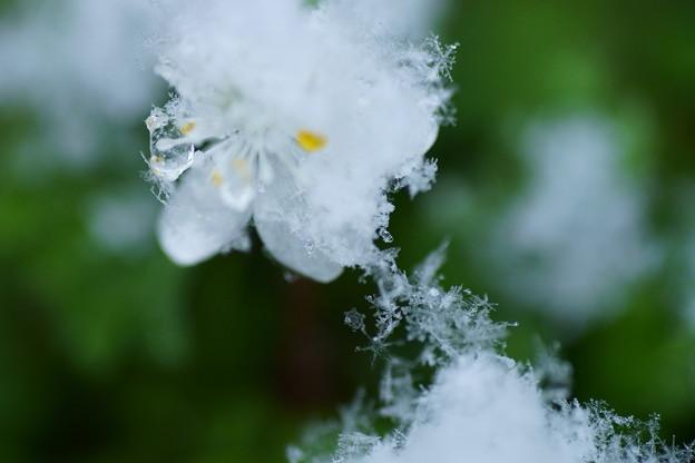 Photos: バイカオウレン 雪の結晶(2)