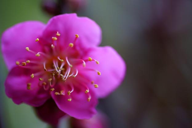 Photos: 紅梅(1)