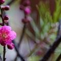 Photos: 紅梅(2)