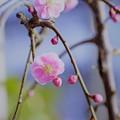 枝垂れ梅が開花