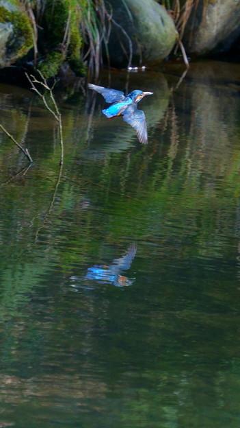 カワセミの飛翔