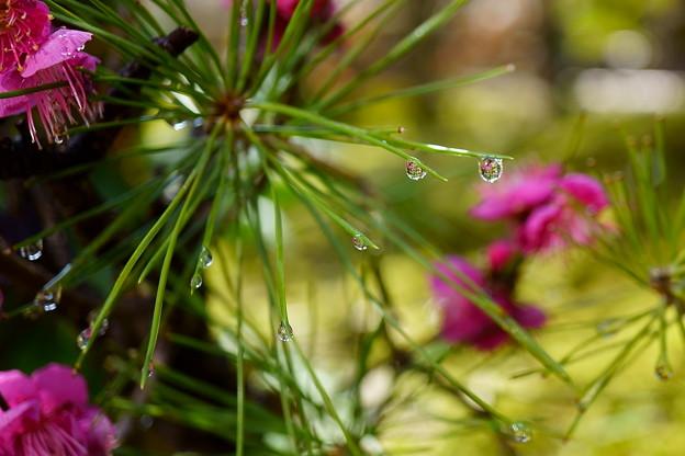 雨上がり 松葉のしずく