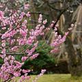 兼六園 梅林  ピンクの梅