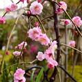 鉢植えの八重紅枝垂れ梅