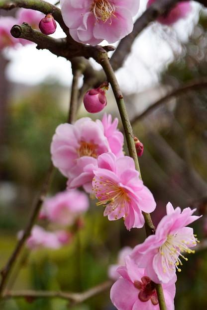 八重紅枝垂れ梅(3)