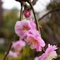 写真: 八重紅枝垂れ梅(3)