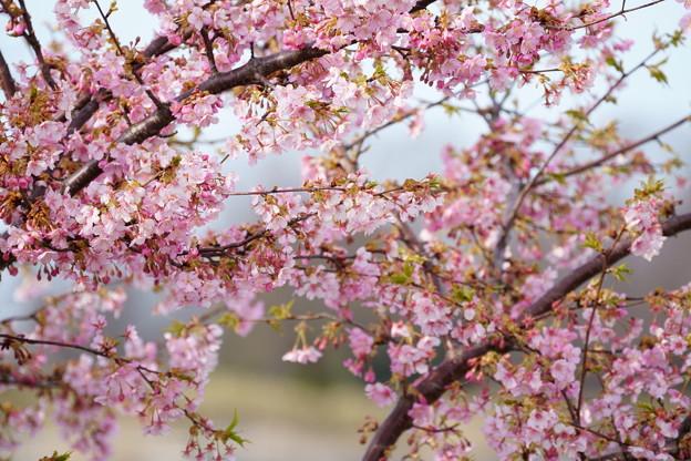 Photos: 満開の河津桜(2) 木場潟公園