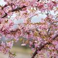 満開の河津桜(2) 木場潟公園