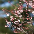 白梅 赤い萼