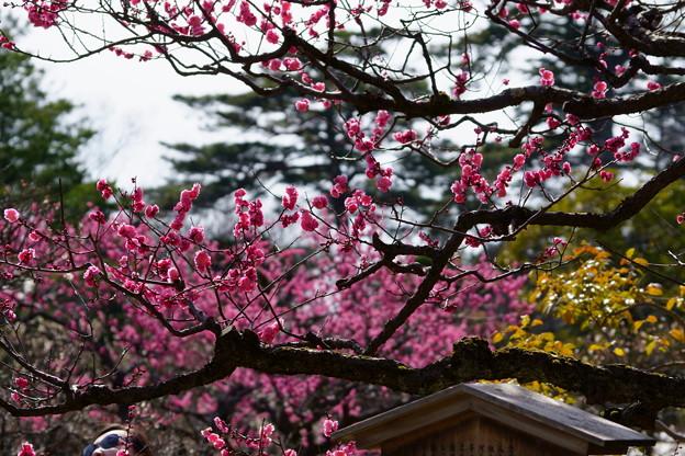 Photos: 兼六園 梅林 摩耶紅