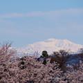 雪の白山と桜