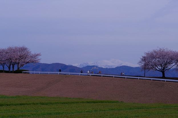 手取川から雪の白山と桜並木