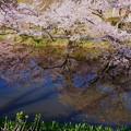 奥卯辰山健民公園.   満開の桜