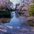 奥卯辰山健民公園 満開の桜 花筏