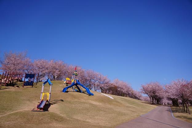 満開の桜  奥卯辰山健民公園