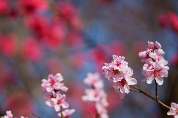 花桃  赤とピンク