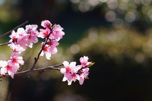 Photos: 花桃 ピンク